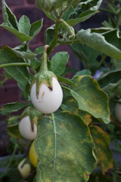 Egg-plant